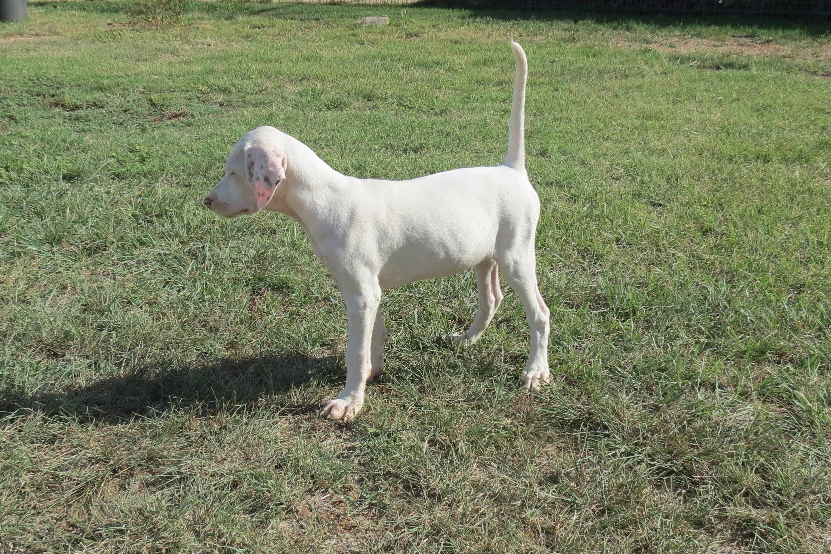 A Beautiful English Pointer Female Puppy Bred By Phantom Kennels