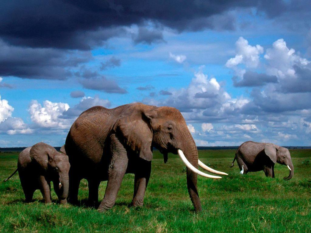 Hd wallpaper elephant - Hd Elephants Wallpapers And Photos Hd Animals Wallpapers Hd Wallpapers Pinterest Elephant Wallpaper And Wallpaper