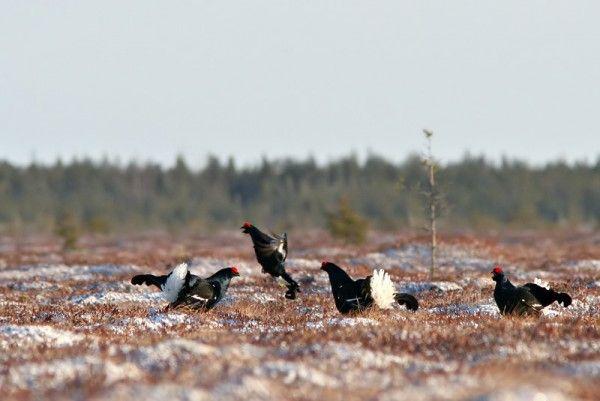 Black grouse - Courting male black grouse. Photo: Jarkko Alatalo