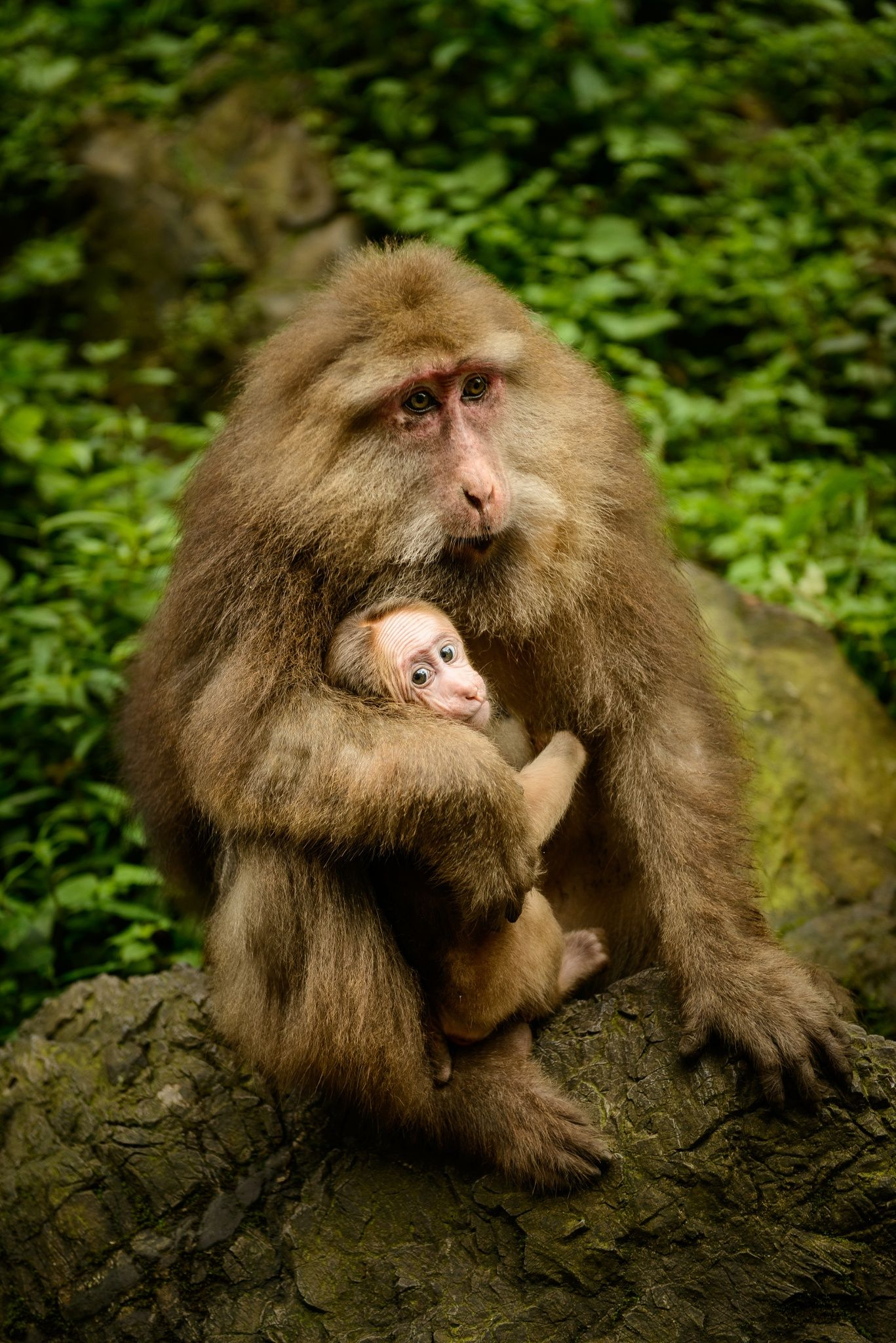 Macaque Mother & Child by Chris Rubey - Photo 16963279 - 500px