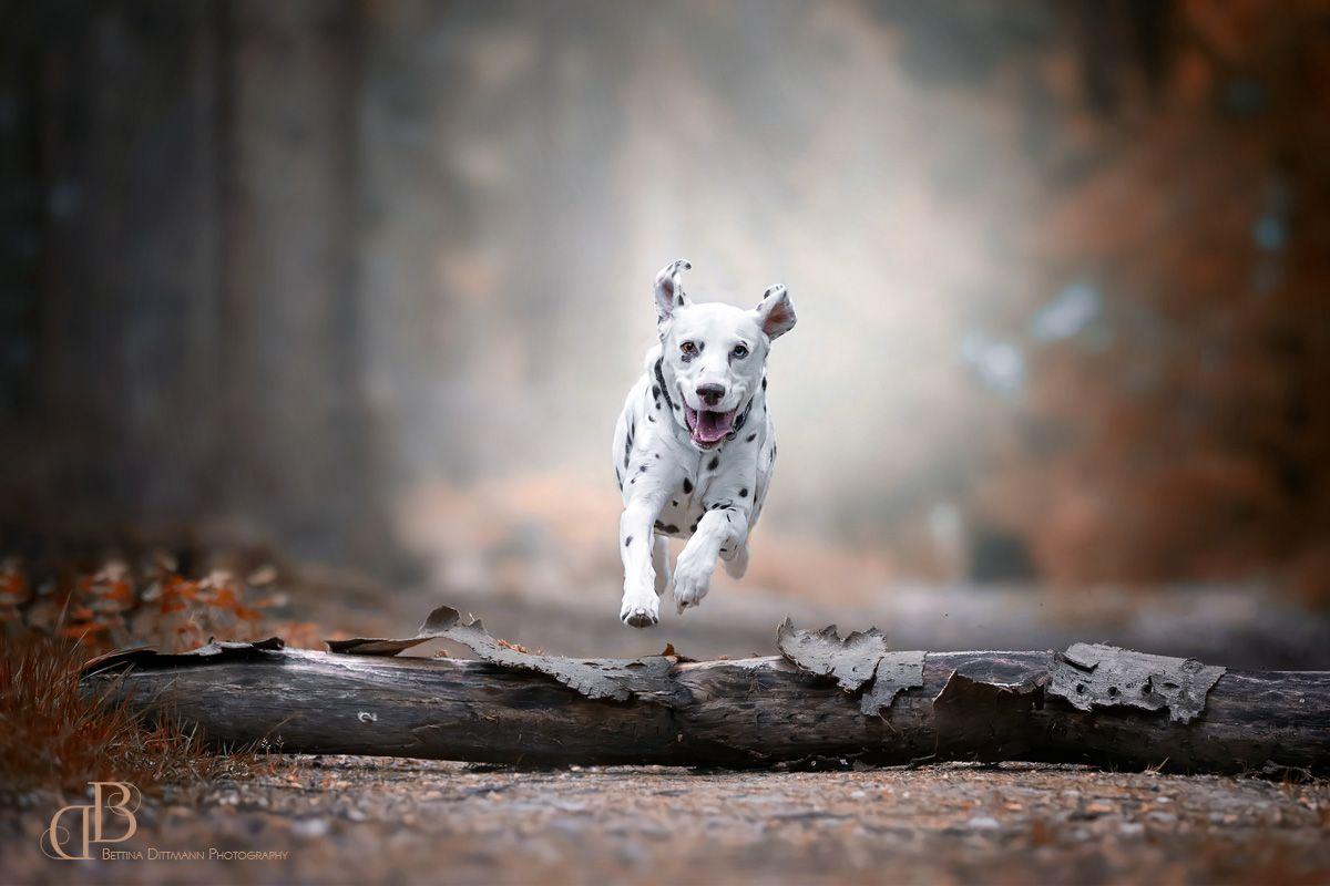 Hundefotografie Dog Photography Dalmatiner Hunde Fotos Hundefotografie Haustierfotografie