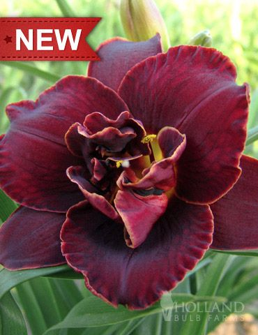 Night Embers Daylily Want this daylilly