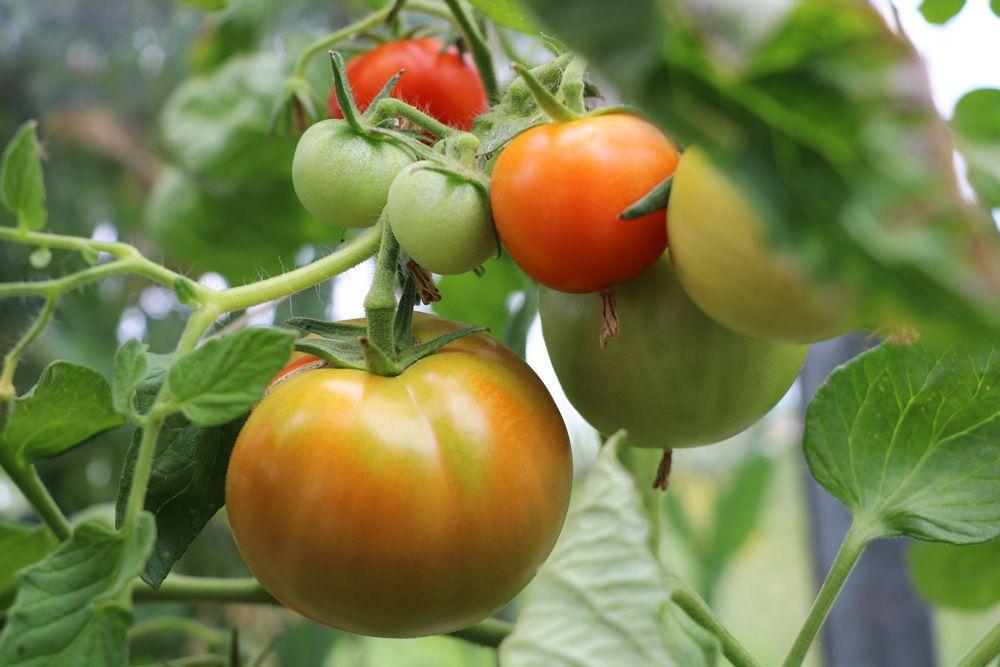 Tomaten düngen mit Kaffeesatz u2013 ist Kaffee ein guter Tomatendünger? Guter Dünger