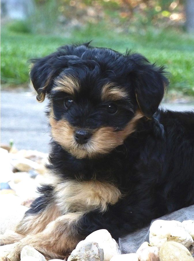 Pin By Amberlycruz On Cute Stuff Yorkie Poo Puppies Yorkshire Terrier Poodle Mix Breeds