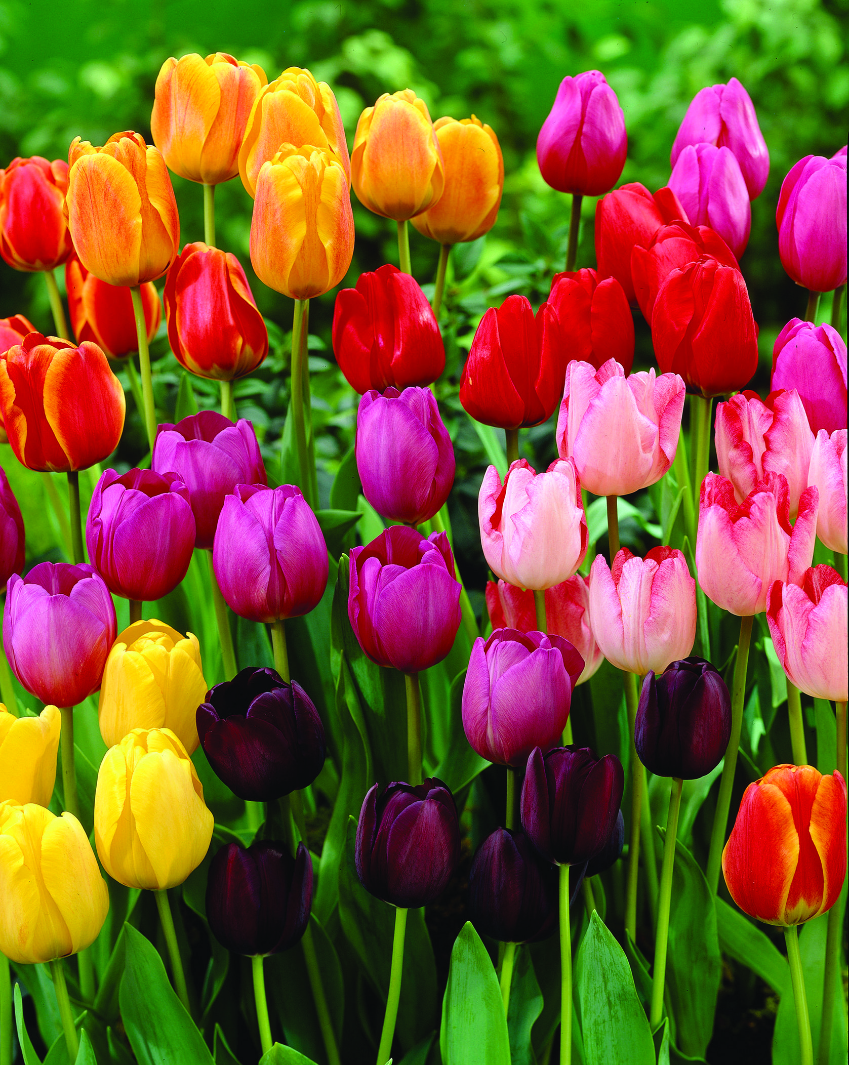 Tulip Hybrida Jungs Rainbow Parade Mix From Jungseed Year Of The Tulip National Garden Bureau Tulips Garden Flowers