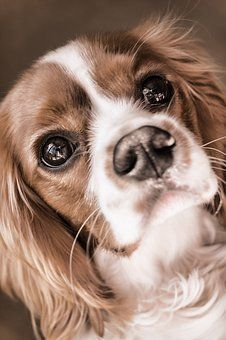 Great King Charles Canine Adorable Dog - cf211cb712345db5afaca12f2c120a83  2018_936227  .jpg