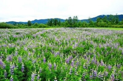 Lupinus Rivularis Many Leaved Lupine Bosky Dell Natives Has This Plant And Beaver