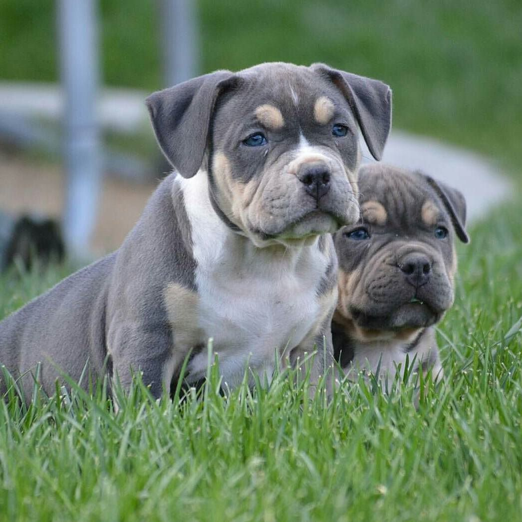 Pin By Ariana Vallina On Pups American Bully Bully Breeds Cute