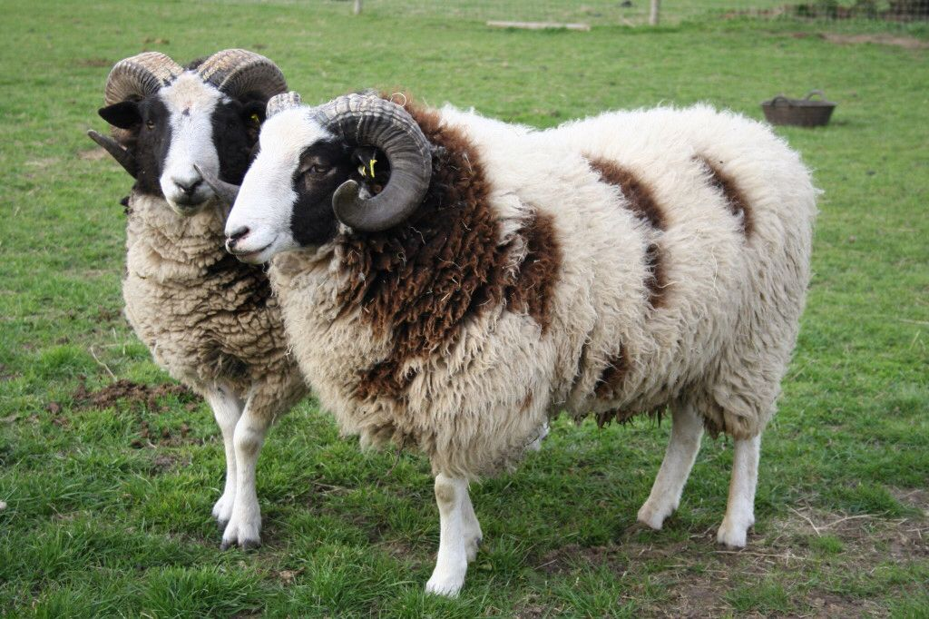 Moutons Jacob