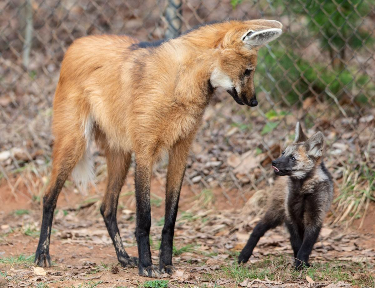 maned wolf & pup Maned wolf, Rare animals, Wolf poses