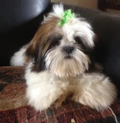 Cody Is An Adoptable Shih Tzu Dog In Denver Pa Cody Is A 3 To 4 Month Old Shih Tzu Puppy He Is Brown And White Neutered Shih Tzu Dog Shih