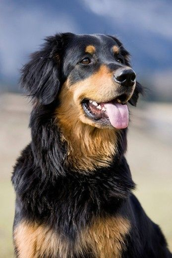 Hovawart 6571 Jpg 347 520 Dogs Dog Breeds Rare Dogs