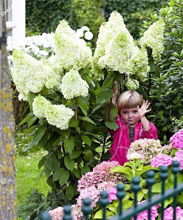 2017 Promotion 20pcs Bag White Hydrangea Seed Lovely Flower Seeds China Hydrangea Bonsai Viburnum Diy Potted Pla Panicle Hydrangea Hydrangea Climbing Hydrangea