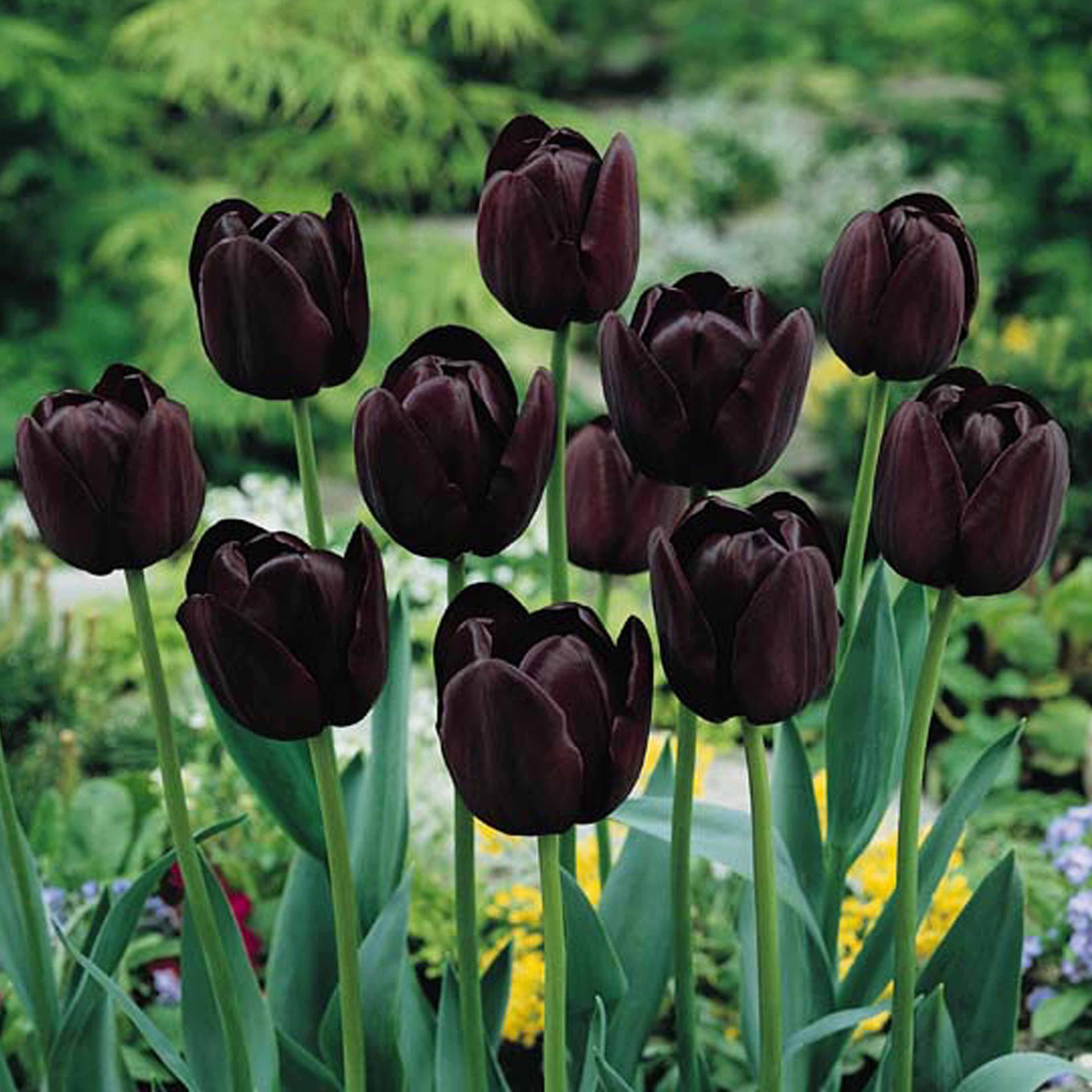 Tulip Queen Of The Night Tulipa Queen Of The Night Mygarden Org Bulb Flowers Tulips Flowers Planting Tulips