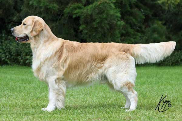 Discussion Why Do Uk And Us Golden Retrievers Look Different