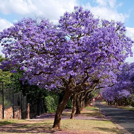 Jacaranda Tree | Growing tree, Fast growing and Beautiful ...