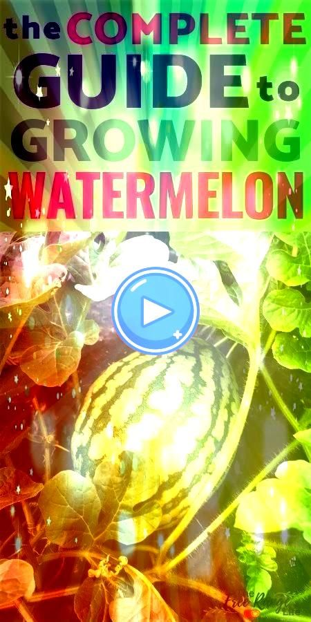 Grow Watermelon in Your Garden From Seed to Harvest How to Grow Watermelon in Your Garden From Seed to Harvest How to Grow Watermelon in Your Garden From Seed to Harvest...