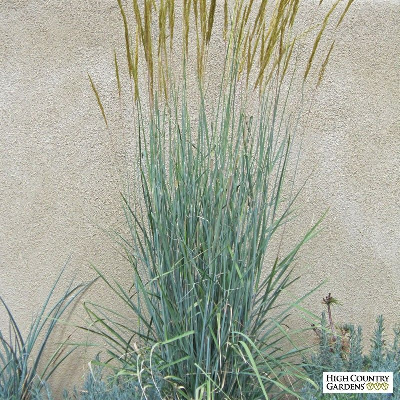 Sorghastrum nutans thin man is a selected form of native for Outdoor tall grass plants
