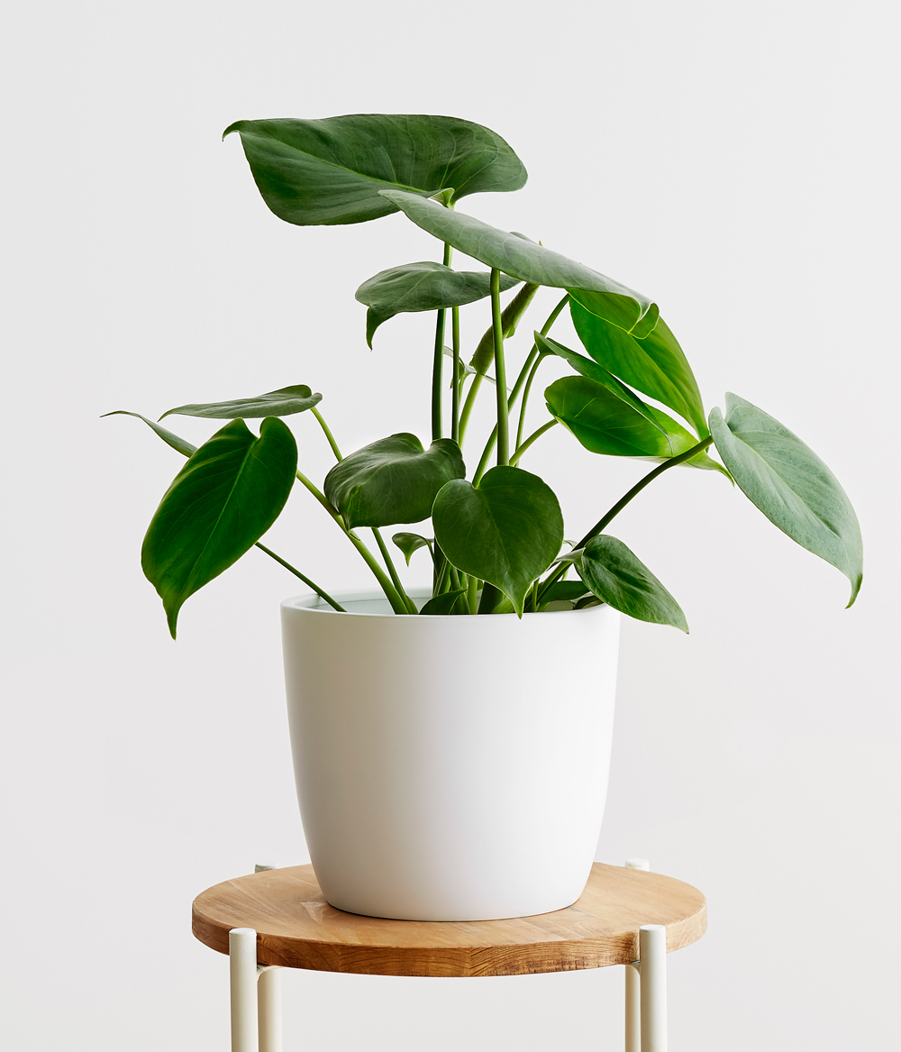 Monstera Small Potted Plants Plants Potted Plants Outdoor