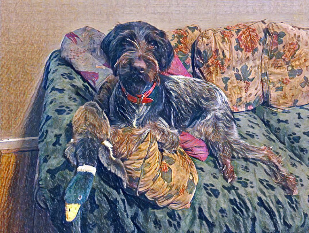 Pin by Jennifer Rhyner on German Wirehaired Pointer