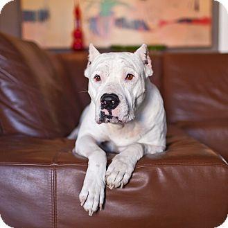 Porter Tx Dogo Argentino Meet Kellan A Dog For Adoption Dog Adoption Pets Dogo Argentino Dog