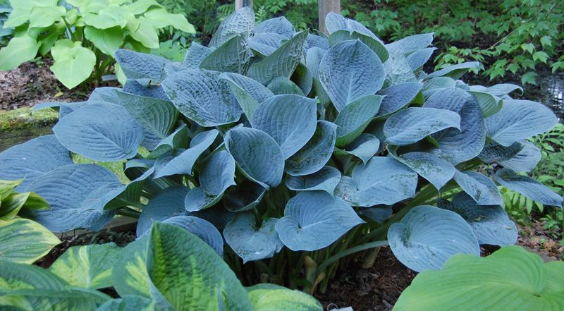 Hosta Blue Hawaii Is Named For It Bluish Color Photo Courtesy