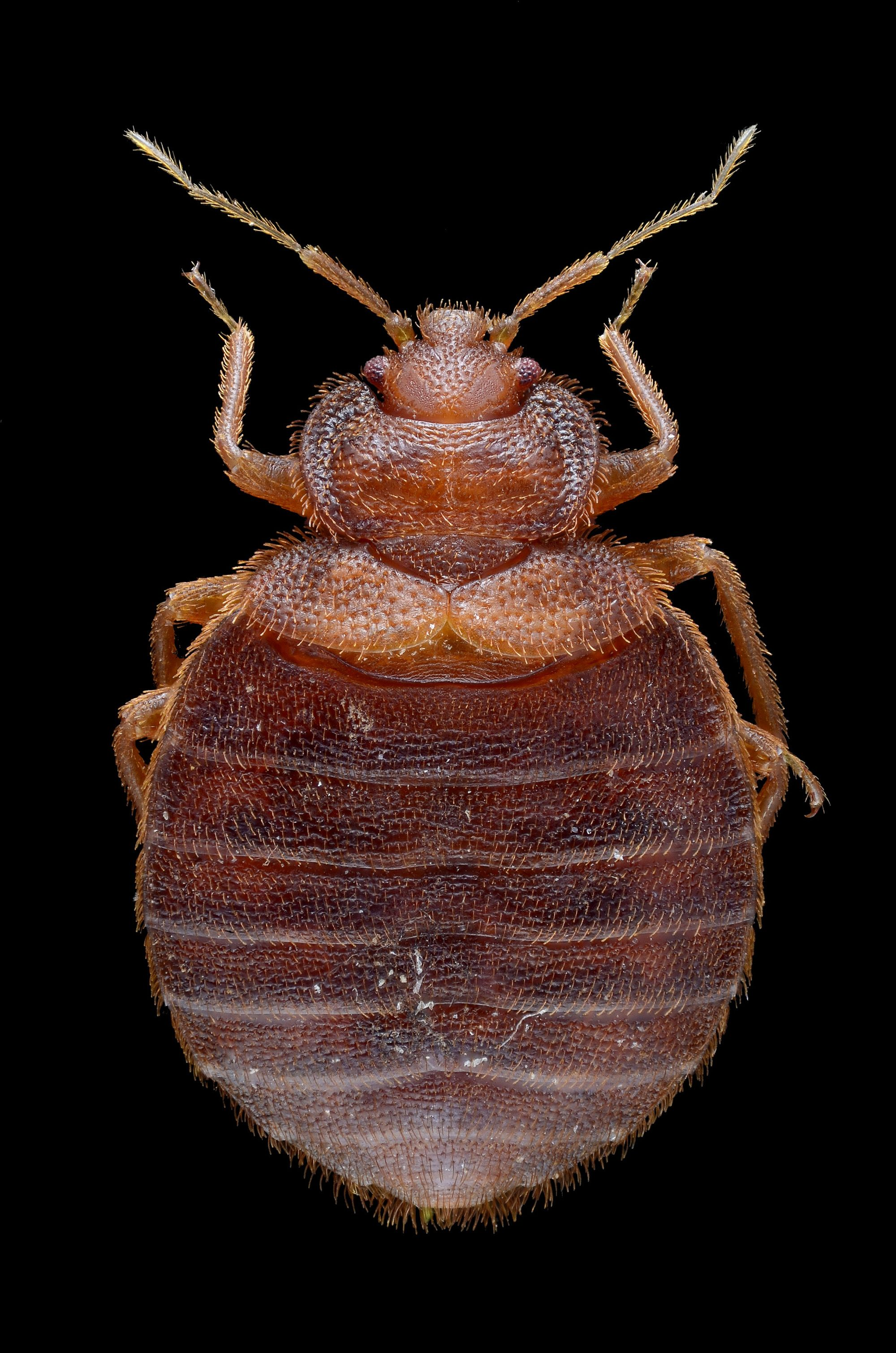 pictures of bed bugs - HD2000×3020