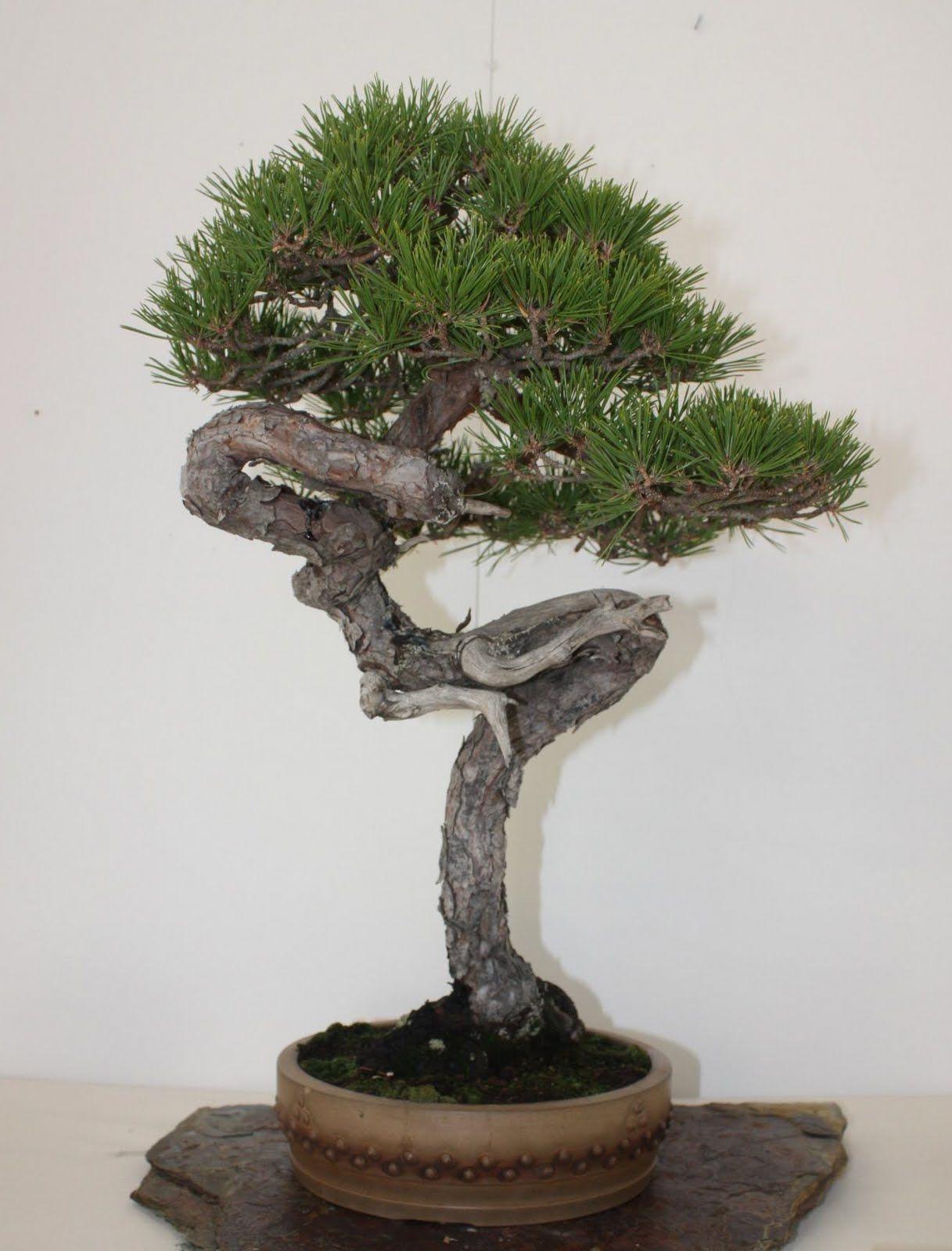 Hobby Bonsai: Pino silvestre: passione e rispetto.
