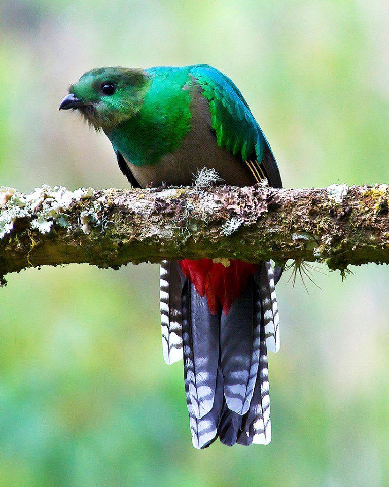 Female Resplendent Quetzal In Costa Rica By Dave W Pet Birds Beautiful Birds Colorful Birds