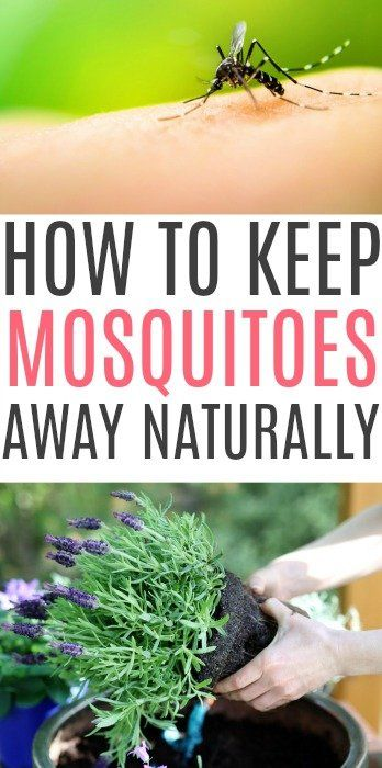 How To Keep Mosquitoes Away Naturally | Keeping mosquitos ...