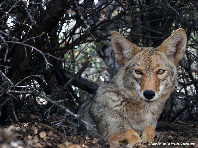 legislation aims to challenge coyote killings