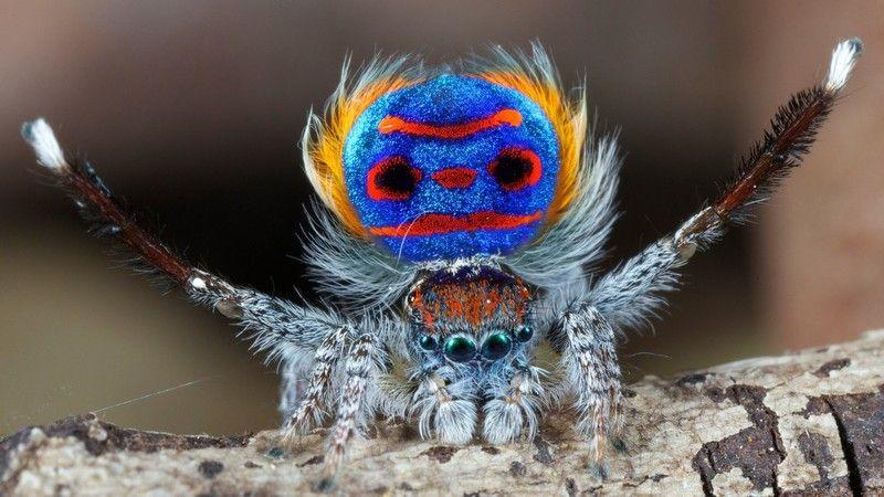 Diese Spinnen Sind Nicht Eklig Sondern Super Schon Webenger Pfauenspinne Spinne Springende Spinne