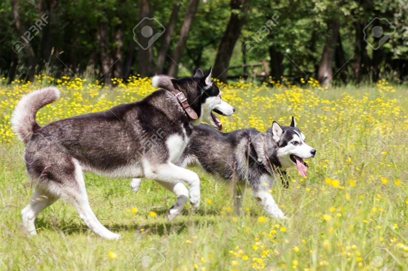 Black And White Siberian Husky Run And Play In Flowers Stock Photo