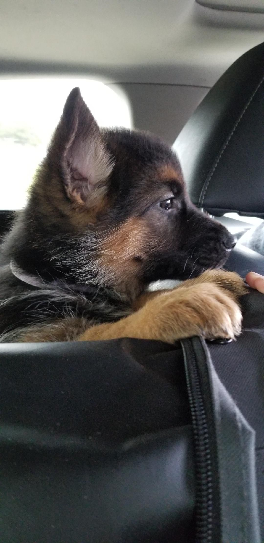 Kaiser German Shepherds Is Expecting Two New Litters This November