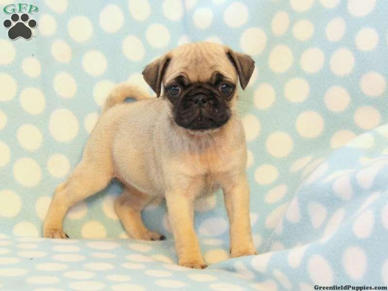 Baby Pugs Google Search My Life As A Pug Mom Baby Pugs