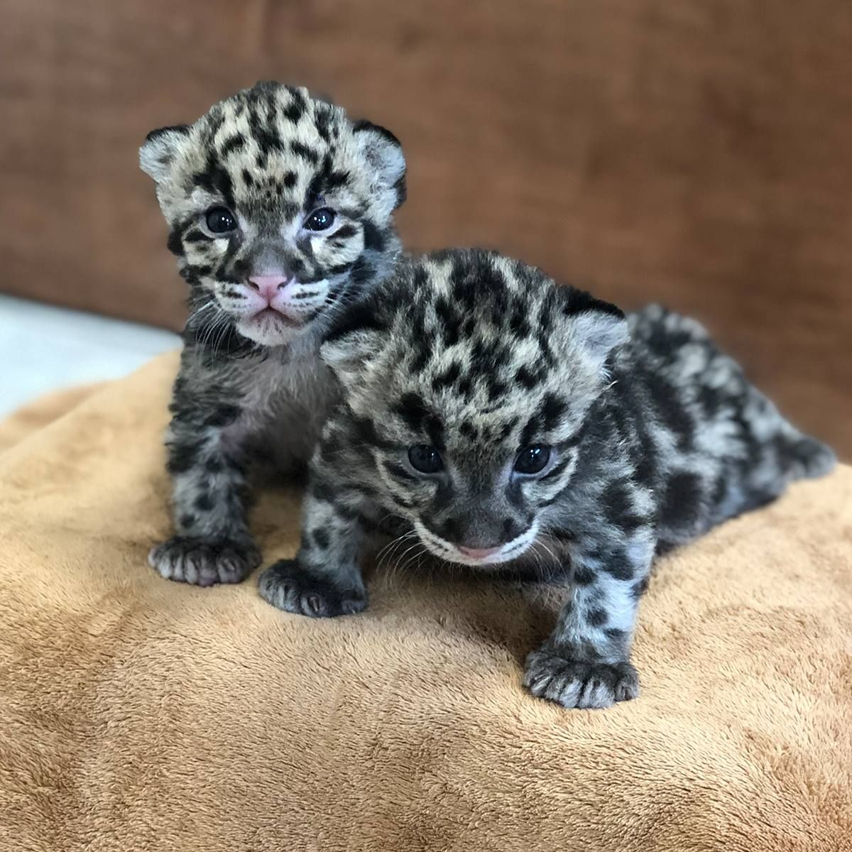 Brand new babies... Columbus zoo, Clouded leopard, Animals
