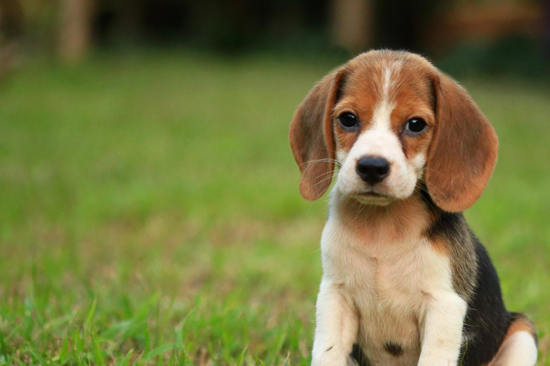 Learn How To Train Your Beagle Dog To Be Off Leash Using Reliable Recall Long Lead And Touch Methods Dog Breeds Dogs Beagle Dog