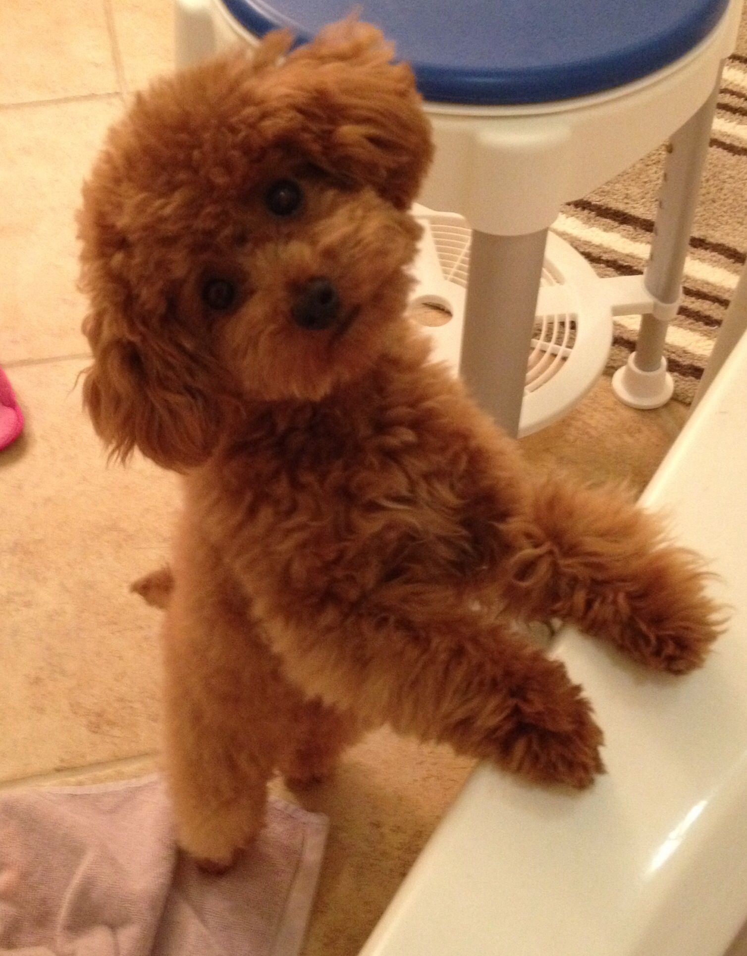 Red Toy Dogs : Alfie the red toy poodle months old ️ cuteness
