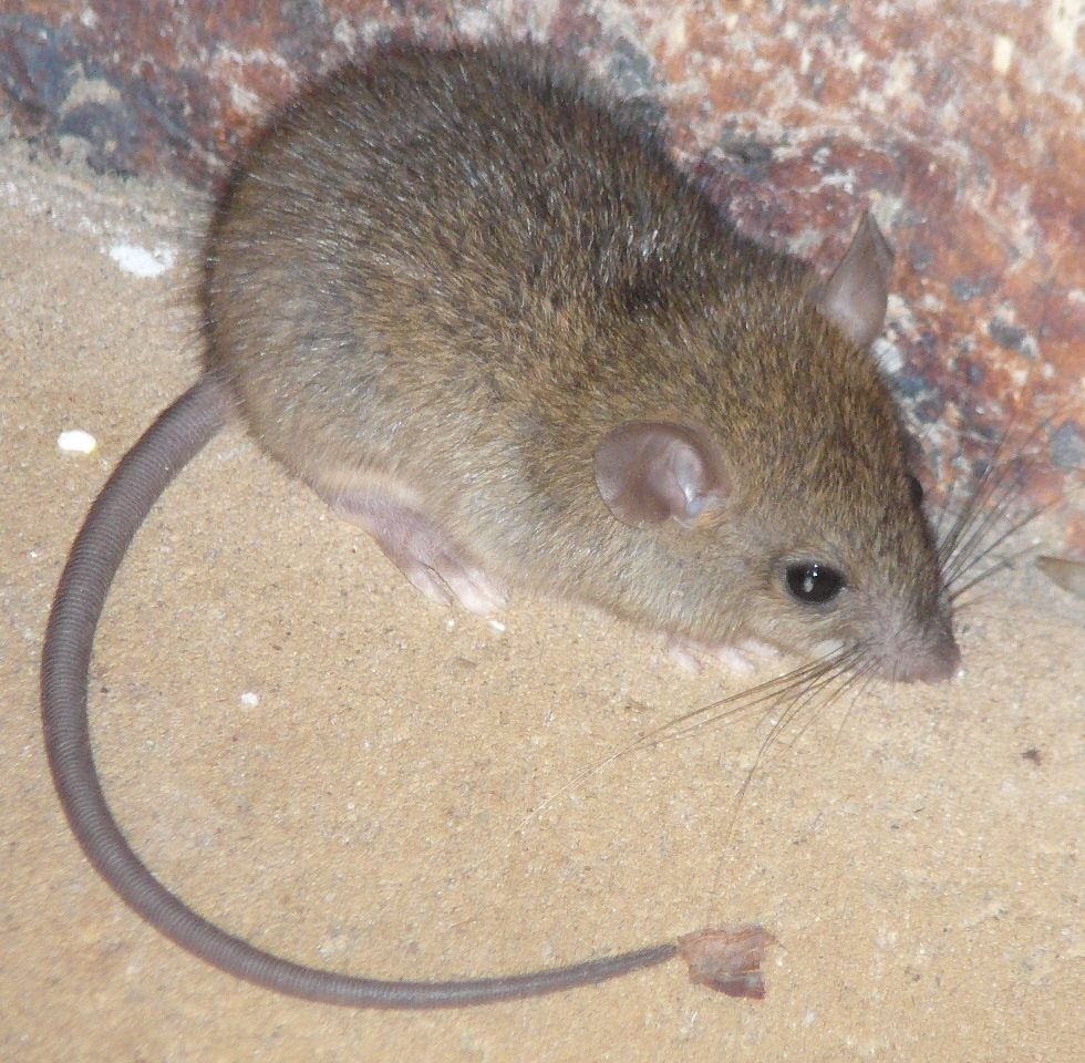 Little Bush Rat That We Think Was Terrorised Sadly He Didn T