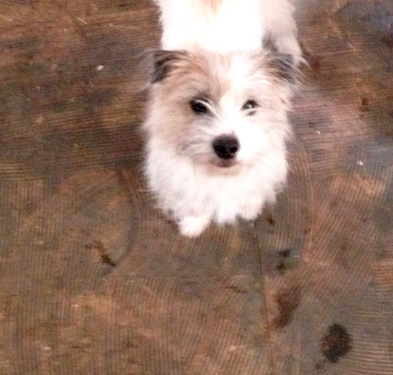 Ruby Sues Daddy! Wired Haired Jack Russell Terrier.