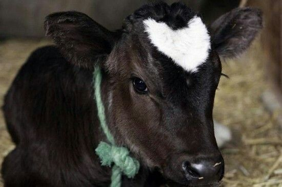 a small calf with a heart on her forehead