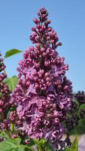 Syringa Vulgaris Ruhm Von Horstenstein Lilac For Sale Online Syringa Vulgaris Syringa Flowers Perennials