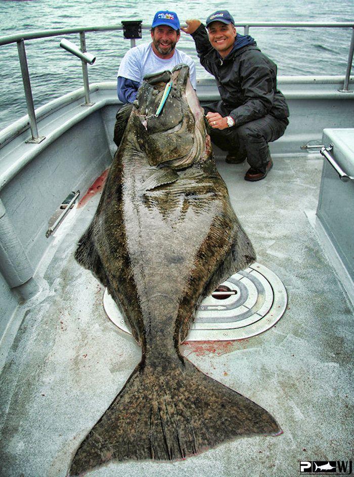 Halibut So Exited For This Season Fish Shark Fishing Flounder Fishing