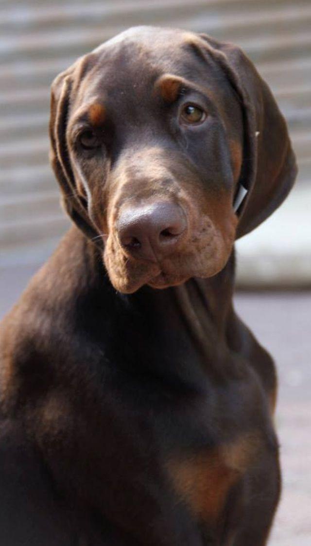 Dobermanpinscher Doberman Pinscher Doberman Pinscher Dog Doberman