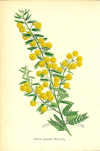 Flower Acacia Meaning Secret Love Antique Lithograph By Charles