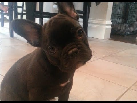 Frog Frenchie Fun French Bulldog Puppy Argues Bedtime Youtube