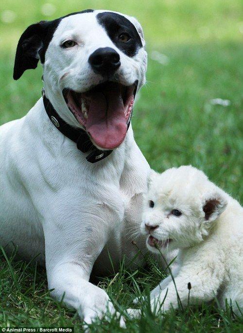 Pointer dog becomes stepfather to rare white lion cub