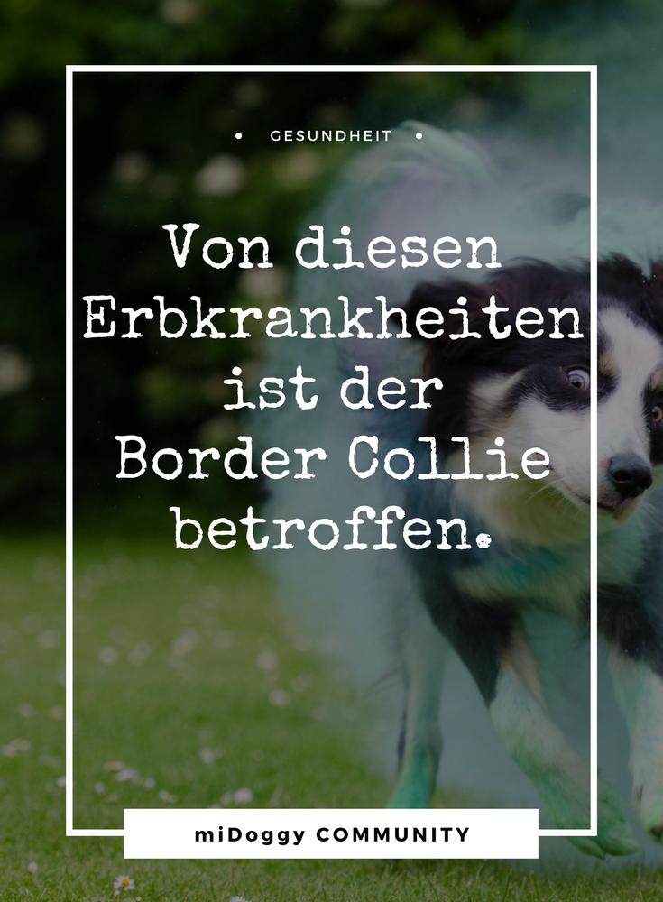 Teil 2. Der Border Collie Was du wissen musst Collie