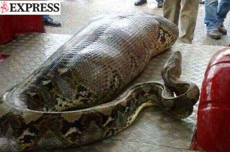 Foto de cobra engolindo bebum viraliza na internet - Notícias - R7 Esquisitices