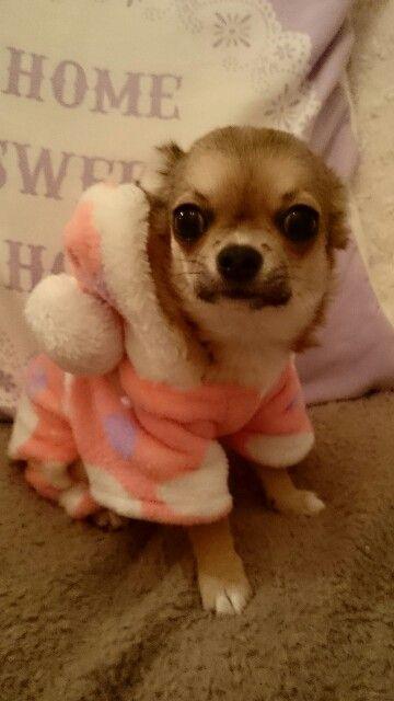 Chiuhauha Puppy Cute Baby Cute Puppies Puppies Chihuahua